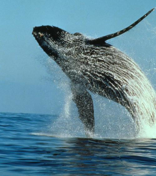 Westin Cape Town Day Trips and Tours breaching Humpback Whale