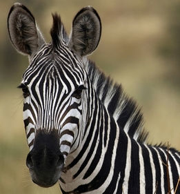 Westin Cape Town Day Trips and Tours Safari Zebra